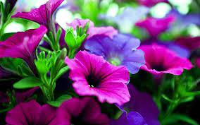 pink purple flowers hd - HD Desktop ...