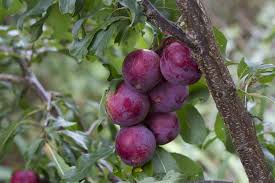 Fruit Trees  Home Gardening Apple Cherry Pear Plum And Peach Purple Plum Tree Fruit