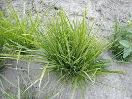 Yellow Nutsedge Killer Herbicide Agtalk Jera Info