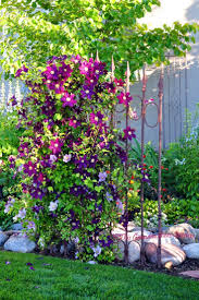 Clematis Jackmanii The large blooms of the Jackmanii measure up to six  inches and cover the