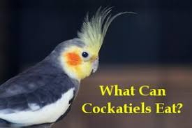 Cockatiel Diet Chart What Can Cockatiels Eat List And Recommendations
