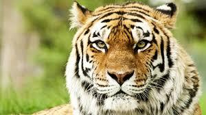 tiger face wallpaper hd. Modren Wallpaper Download Wallpaper 1920x1080 Tiger Face Color Striped Predator For Tiger Face Hd G