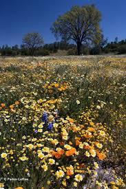 a spectacular display of california wildflowers at s creek santa margarita hwy 58 in san luis obispo county nature san luis obispo