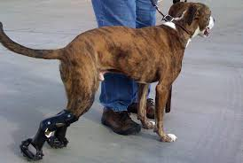 valgus dog. prosthetic limbs for dogs valgus dog