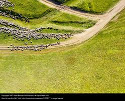 grass field aerial. Aerial Drone View Of Sheep Herd Feeding On Grass - A Royalty Free Stock Photo From Photocase Field
