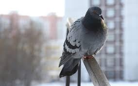 Картинки по запросу голубь на балконе