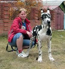 great dane 3 5 months harlequin our little