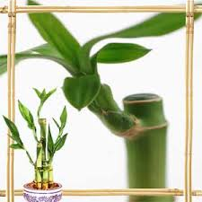 feng shui plant office. Lucky Bamboo Feng Shui Plant Office