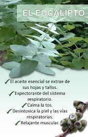 Usos Y Beneficios Del Eucalipto Hierbas Curativas Plantas Medicinales Hiervas Medicinales