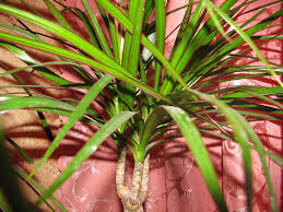 Dracaena How Much Fertilizer To Use