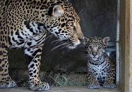 baby jaguar wallpaper. Beautiful Jaguar Baby Jaguar In Baby Jaguar Wallpaper P