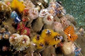 Christmas Tree Worm Facts  Spirobranchus Giganteus  Sea WormsChristmas Tree Worm Facts