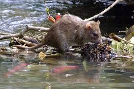 Hasil carian imej untuk tikus