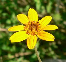 Wedelia acapulcensis - Wikipedia