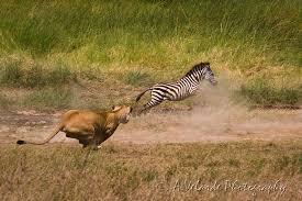 lioness hunting zebra. Perfect Zebra Lioness Hunting Zebra  Serengeti Tanzania Inside I