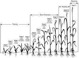 Wheat Growth Chart Wheat Growth Stages