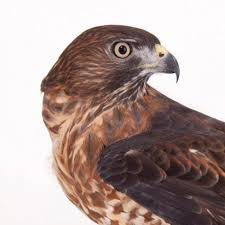 What Is A Hawk Light Broad Winged Hawk National Geographic