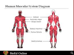 Human Body Systems 101