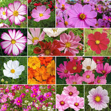 crazy for cosmos cosmos flower seed mix quick view