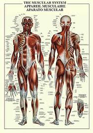 Wall Chart Of Human Anatomy The Muscular System Human Anatomy Wall Chart Reference