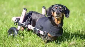 adorable dachshund gets new wheelchair