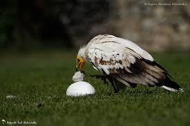 Résultats de recherche d'images pour «le vautour percnoptère»