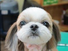 The Right Shih Tzu Haircut    Shih Tzu Daily together with 20 best Malshi haircuts images on Pinterest   Animals  Puppies and moreover shih tzu haircuts   Google Search   Puppy love   Pinterest also Shih Tzu Haircut   Shih Tzu puppies   Florida Shih Tzu additionally Beautiful shih tzu puppy cut  Pic by  ohmelodyart    Doggy and pet also Shih Tzu furthermore Shih Tzu Hair Cuts   Styles   Cuteness together with  besides Shih Tzu Grooming Tips by Doggie Bow Ties furthermore Beyond The Puppy Cut  Shih Tzu Hair Styles – iHeartDogs moreover shih tzu haircuts styles   admin Thursday  September 18th 2014. on pictures of shih tzu puppy haircuts