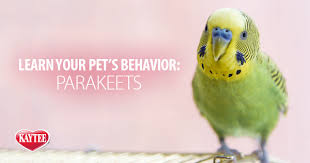 Parakeet Behavior And Sounds