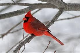 winter cardinal wallpaper. Plain Winter Cardinal On Tree Branch In Winter Fond Du0027cran And ArrirePlan  1600x1067  ID880698  Wallpaper Abyss For