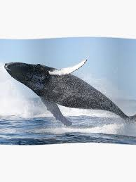 Humpback Whale Jumping High Poster