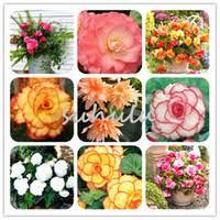 <b>Begonia</b> Seed Flower UK