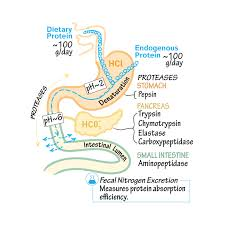 Protein Digestion Biochemistry Glossary Protein Digestion Absorption Draw