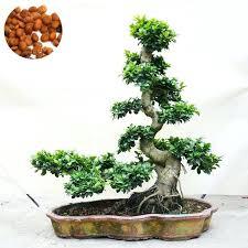 office bonsai tree. Interesting Bonsai Indoor Bonsai Plants Office Tree Exotic Banyan Seed  Desk Ficus T   And Office Bonsai Tree