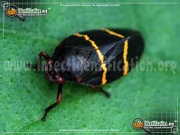 Orange black striped bug