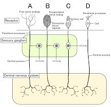 Sensory Neuron Wikipedia