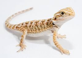 petco animals reptiles. Contemporary Reptiles Bearded Dragon For Petco Animals Reptiles