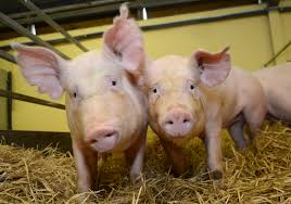 Transgenic Animals The Superpowers Of Genetically Modified Pigs The Scientist