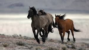 Official: Controlling wild horses in US will take $5b, 15 years    Environment News   Al Jazeera