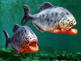 amazon river piranha. Interesting Amazon Amazon River Piranha  Inhabiting The Waters Of Basin Piranhas  Are Famed For Their Razorsharp Teeth And Insatiable Appetite Flesh Throughout