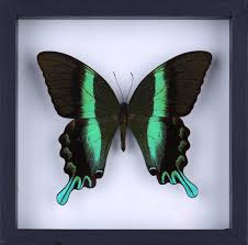 See Through Glass The Green Swallowtail Butterfly Papilio Blumei Butterfly