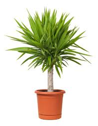 office pot plants. Yucca Potted Plant Suitable For Office Environment Pot Plants C