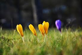 Image result for crocuses