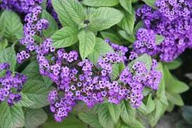 purple flower names cherry pie plant heliotrope with cers of small purple flowers that smell like