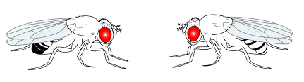 a day in the life of a drosophila lab the node cartoon of a drosophila male left and female right from shimosako et al doi 10 1007 978 1 62703 655 9 4