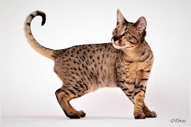 savannah cat chart savannah breed