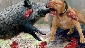 pitbull dog vs lion.  Pitbull Wild Boar Bully Lion  Vs Hippo Real Fight Rhino Dog  Animal Attacks U2013 Gabel Intended Pitbull Vs