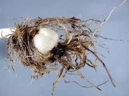 Lily (Lilium spp.)-Root Rots   Pacific Northwest Pest Management ...