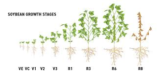 Agronomy Talk Early Soybean Growth And Development