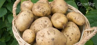 Image result for Potato Cultivars for Resistance to Colorado Beetle