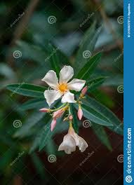 Close Up White Oleander Nerium Flower In Nature Garden Stock Image - Image  of fresh, bush: 219353737